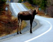 Anna Mircea - Muskoka Moose In The Road