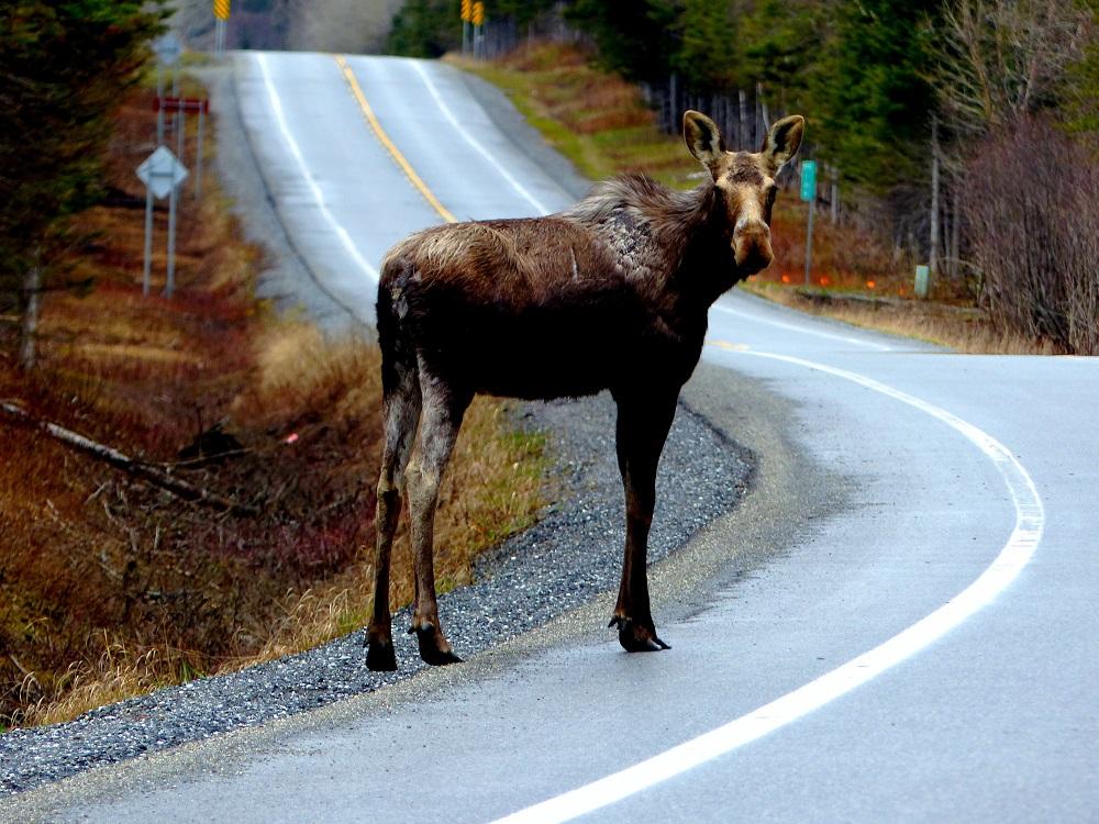 Anna Mircea - Muskoka Moose In The Road