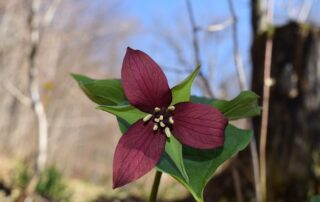 Red Trillium Image by gatty25